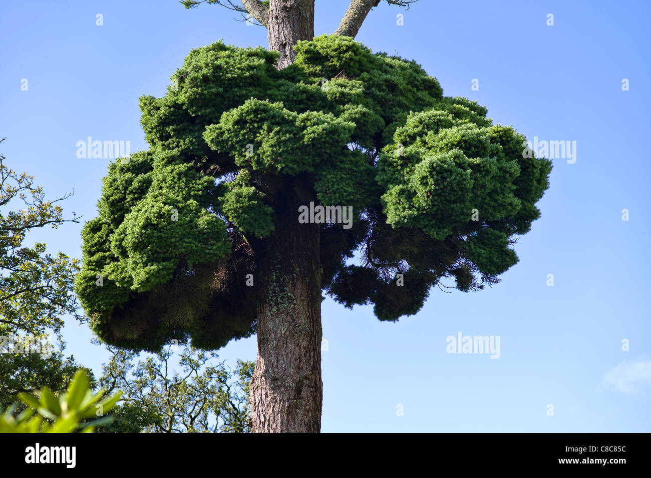 Huge specimen of Witches Broom growing on an old Douglas fir tree - Stock Image
