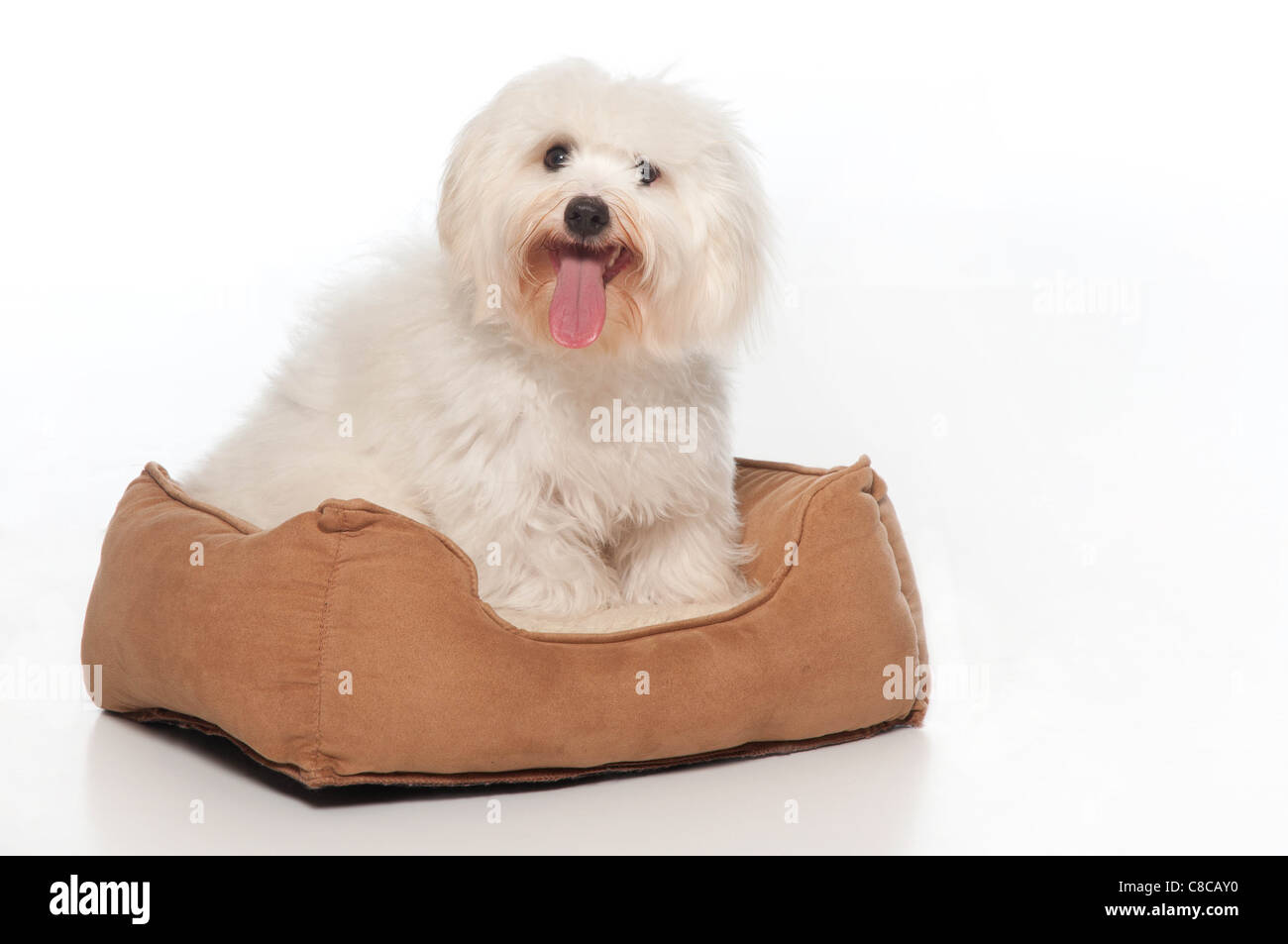 A Coton de Tulear dog, sitting in his dog bed. - Stock Image