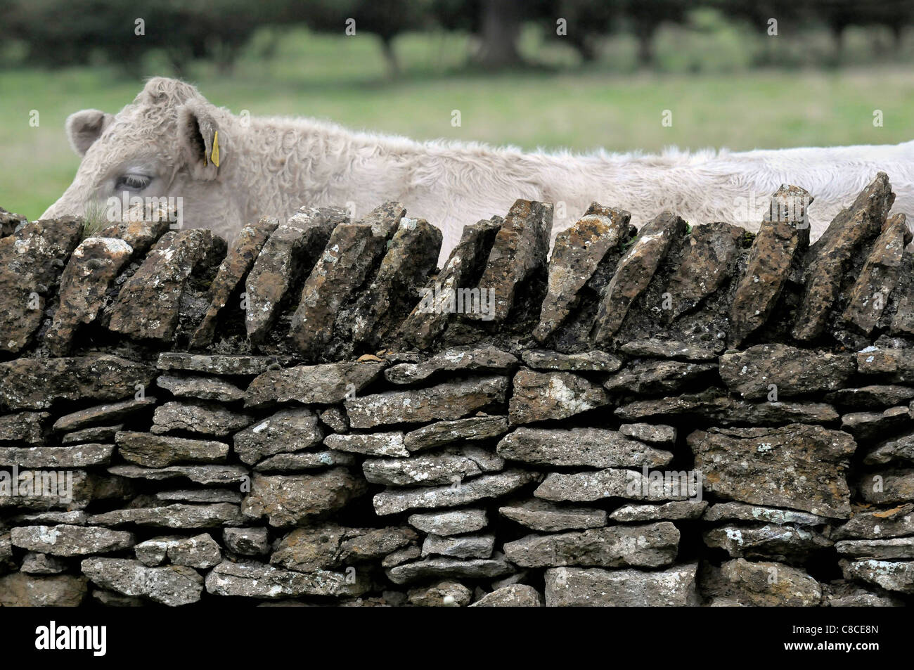 © Tony Bartholomew A cow peers over a stone wall in the village of Hutton Buscel near Scarborough - Stock Image