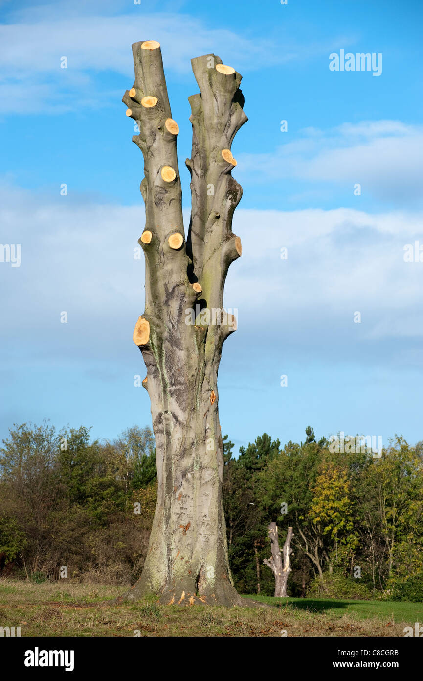 Tall large mature tree fully pruned to its trunk - Stock Image