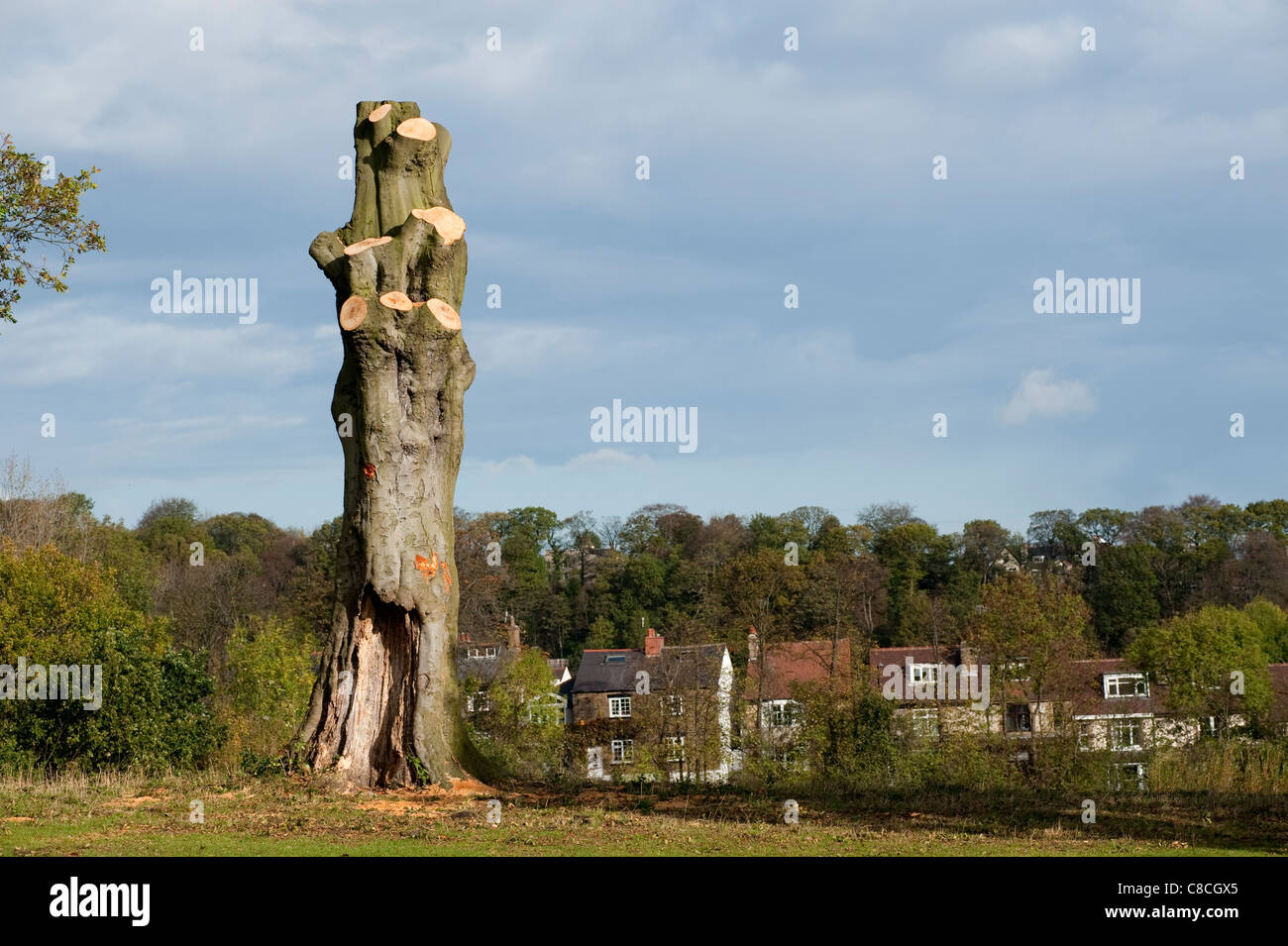 Tall large fully pruned mature tree on the brow of a small parkland hill with housing in the background - Stock Image
