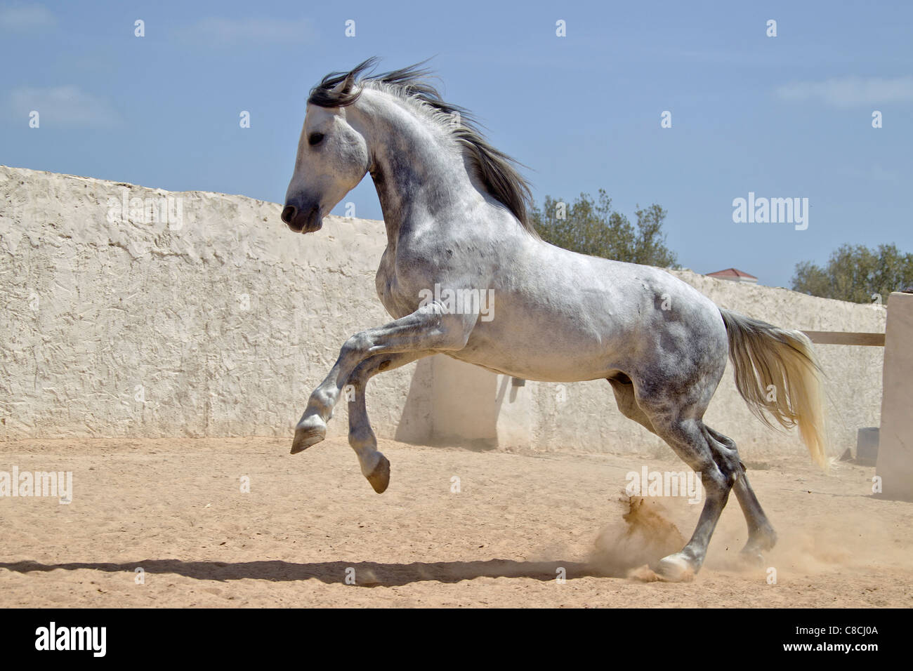 Arabian Horse Gray Stallion Galloping In A Paddock Tunesia Stock Photo Alamy