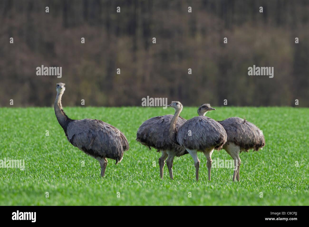 Greater Rhea (Rhea americana) flock in field. Flightless birds native to South America Stock Photo