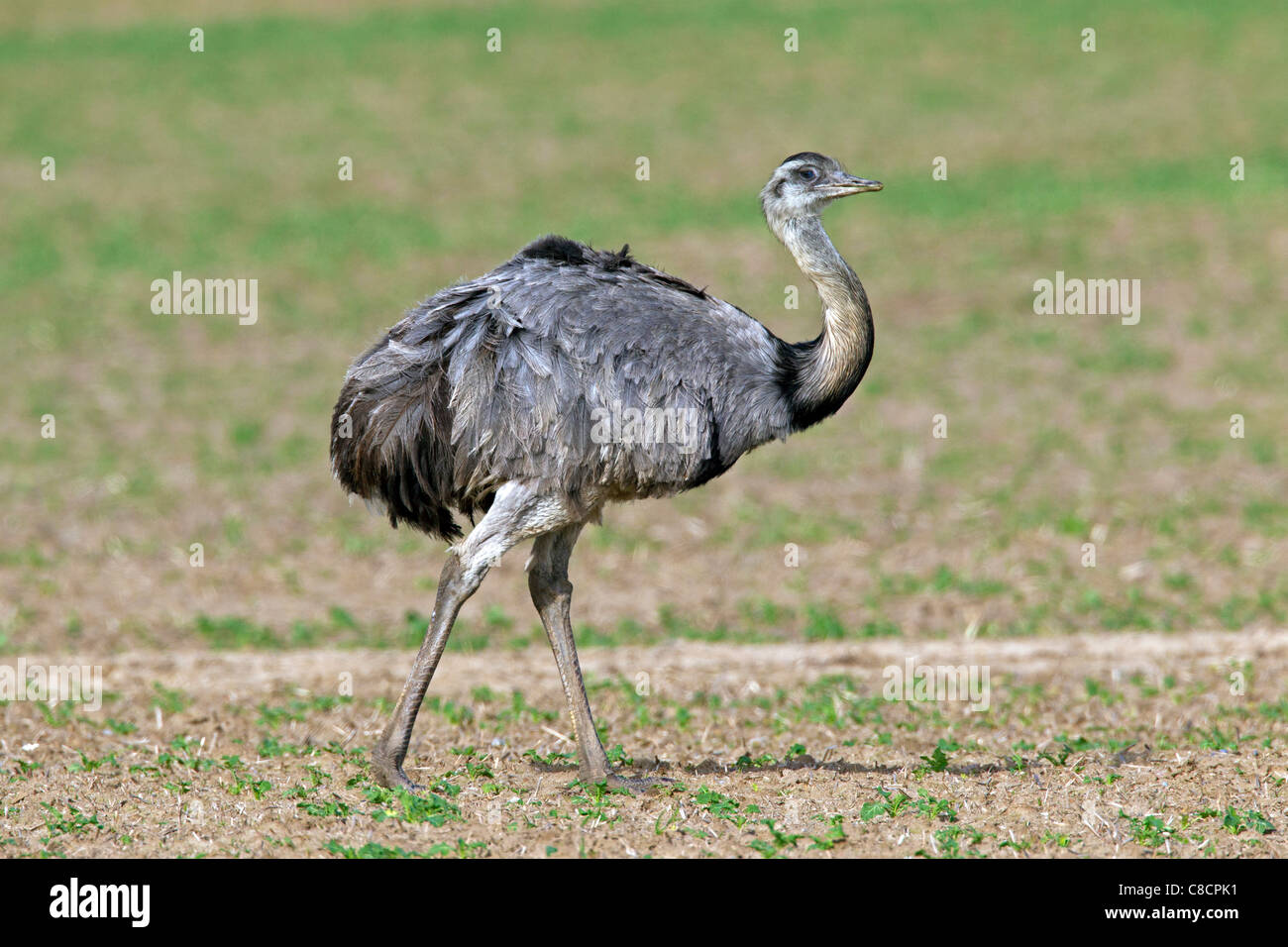 Greater Rhea (Rhea americana), male native to South America Stock Photo