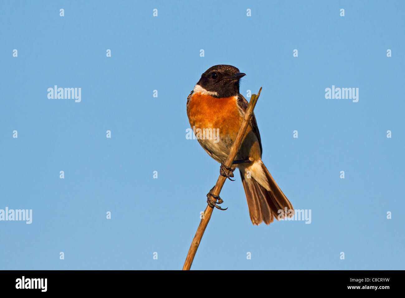 Roodborsttapuit (Saxicola torquatus), Duitsland European Stonechat (Saxicola rubicola) male perced on stem, Germany - Stock Image