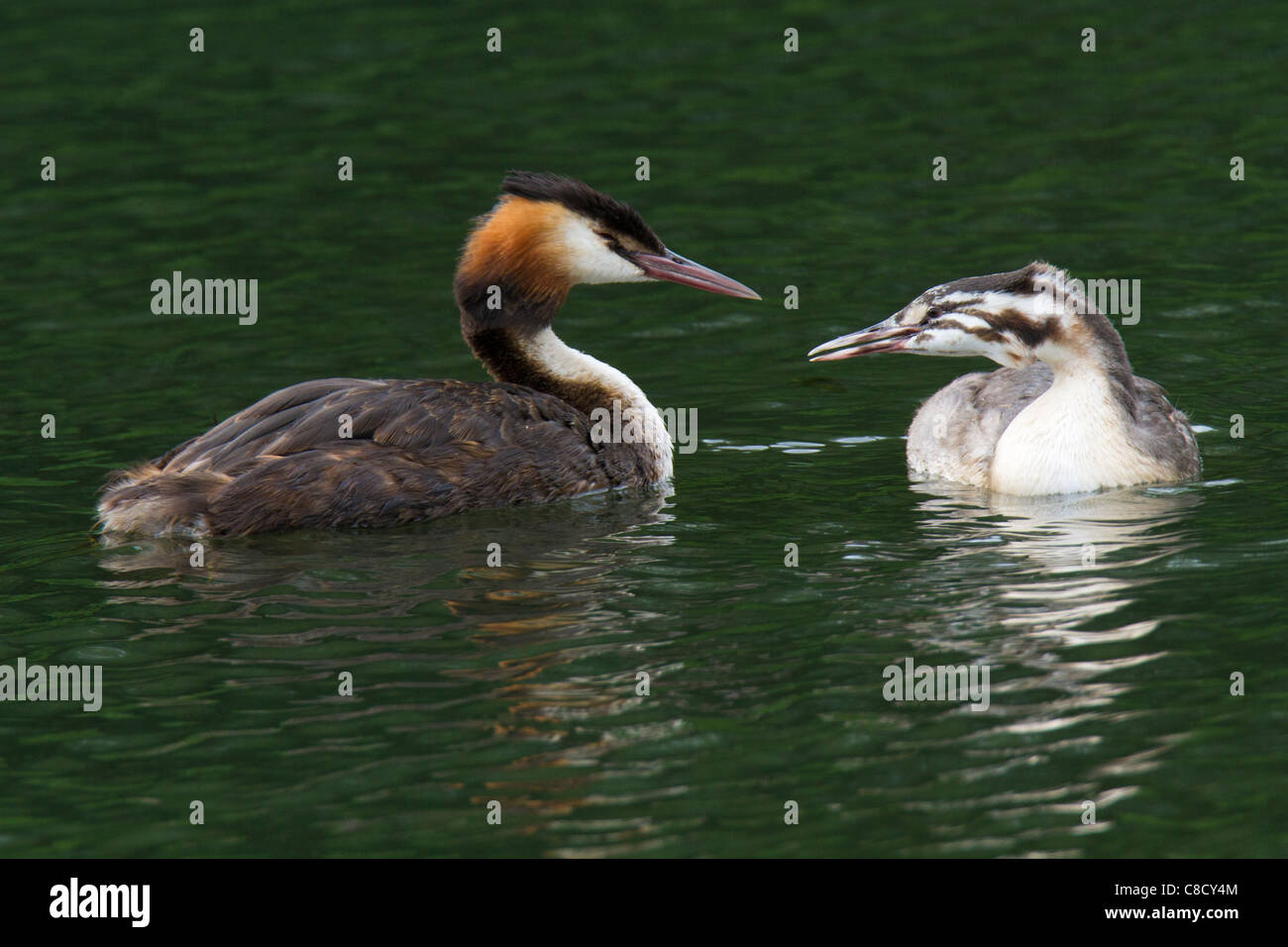 adult and juvenile Great Crested Grebes (Podiceps cristatus) - Stock Image