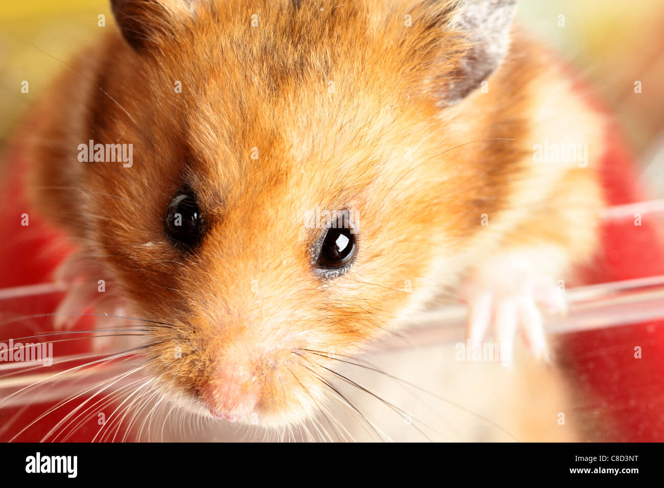 Muzzle Of Red Hamster Close Up Stock Image