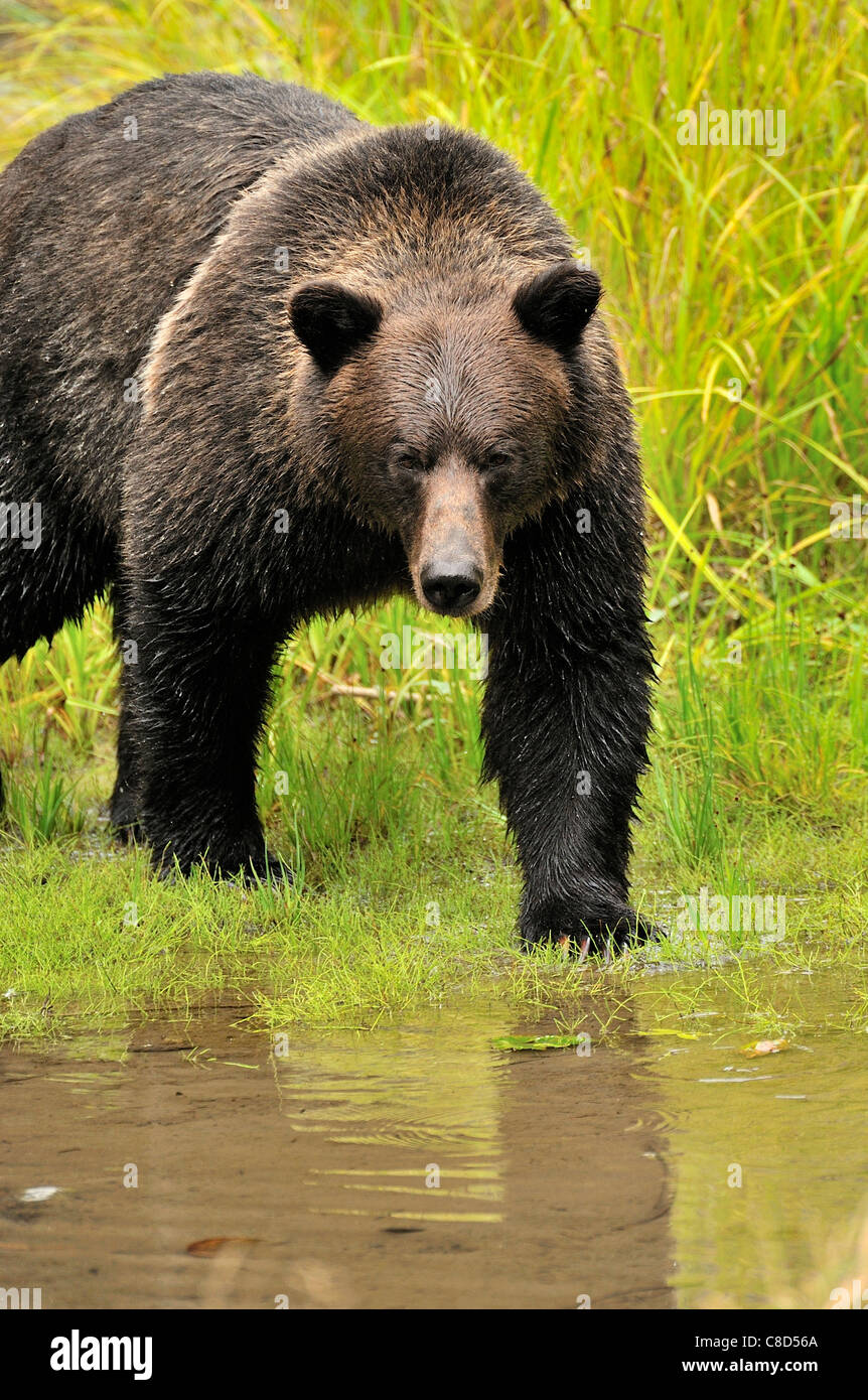 An adult grizzly bear walking forward making eye contact. Stock Photo