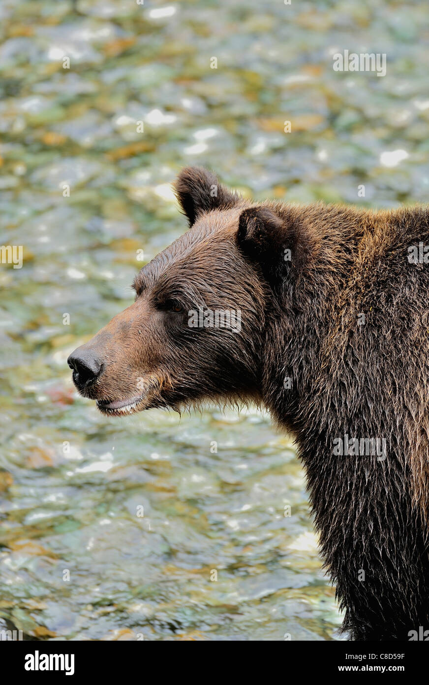 A grizzly scans the water of a clear running stream for spawning salmon. - Stock Image