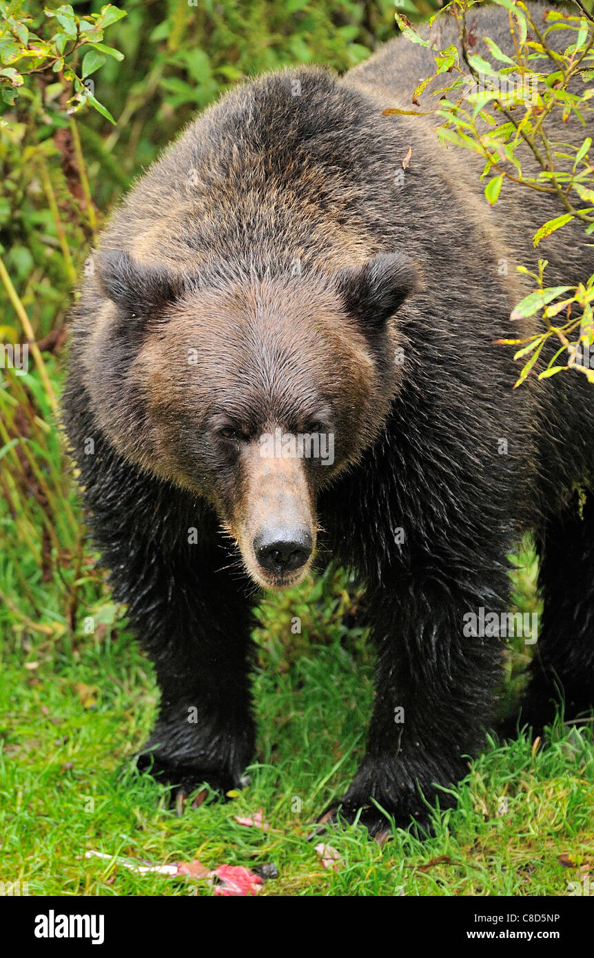 An adult grizzly bear making eye contact standing over some half eaten salmon Stock Photo