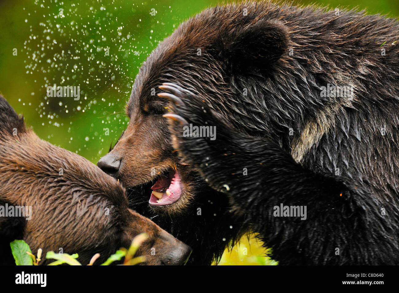 Grizzly bears fighting,playing being aggressive with each other. - Stock Image