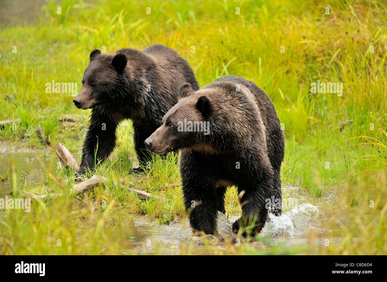 Two grizzly bears walking through the wet grass at the edge of a pond - Stock Image