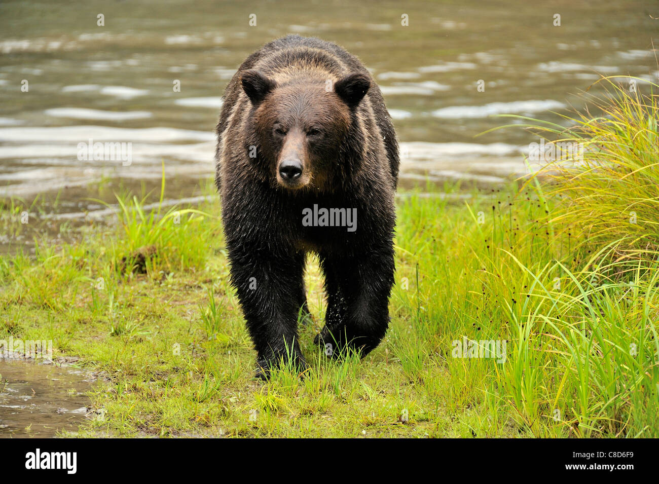 An adult grizzly bear walking along the edge of a water pond. - Stock Image