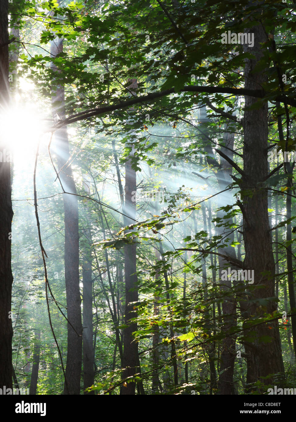 Sun's rays shining through the trees in the forest. - Stock Image