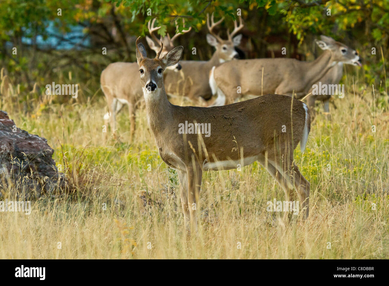 Whitetail buck and does in the woods in South Dakota Stock Photo