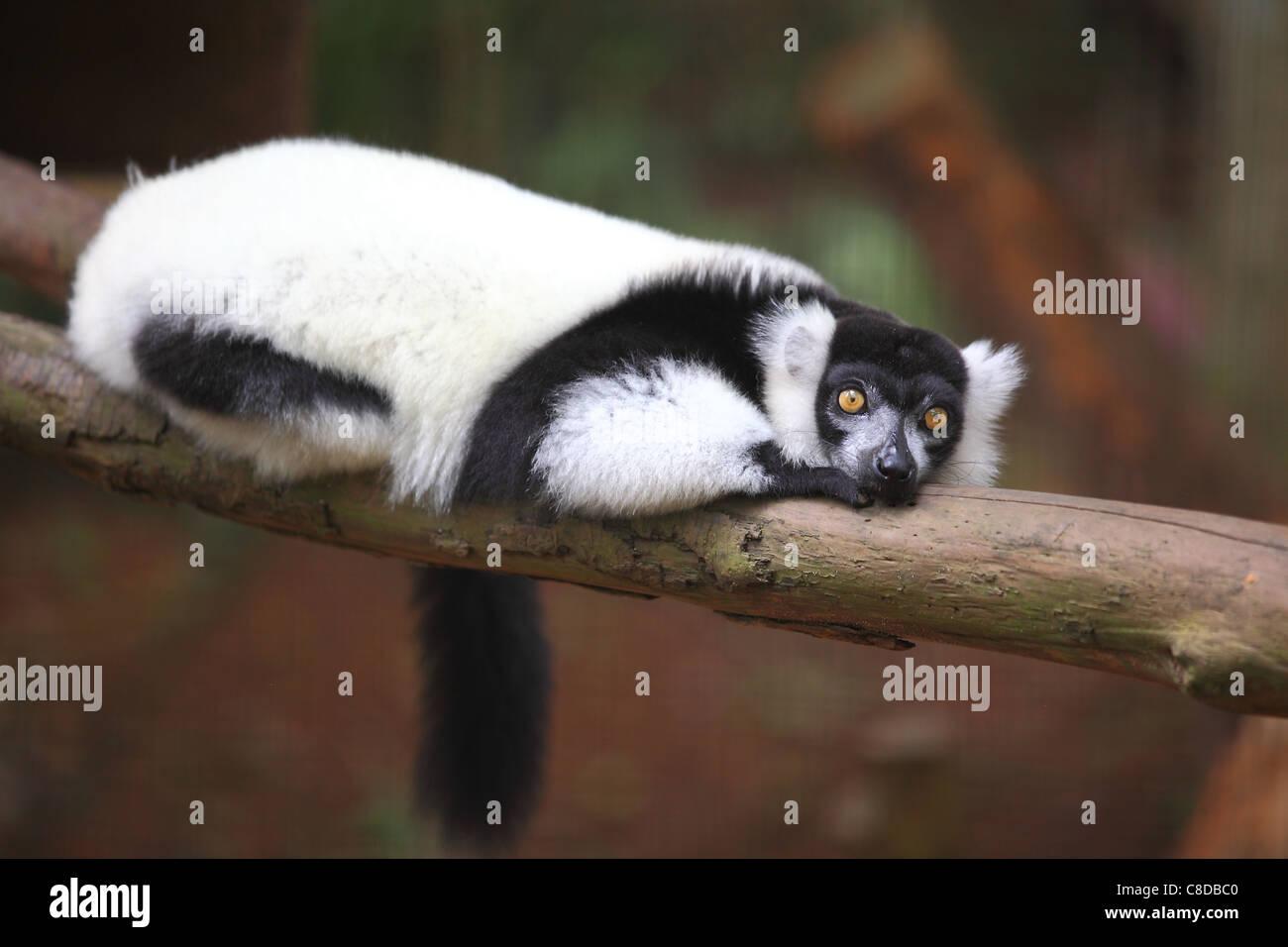 Black-and-white ruffed lemur (Varecia variegata subcincta) resting on a branch in Melaka zoo. - Stock Image