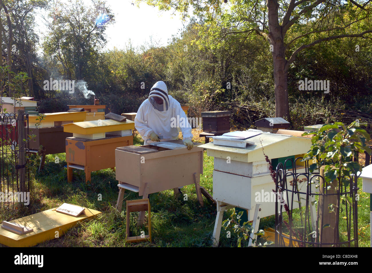 Beekeeper looking after Hives, UK - Stock Image