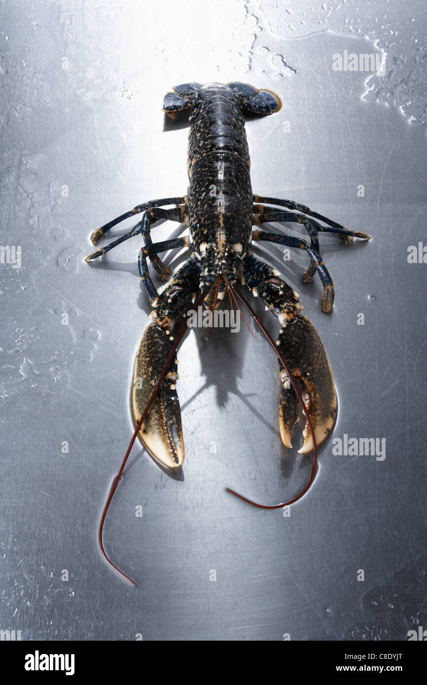 Live lobster - Stock Image