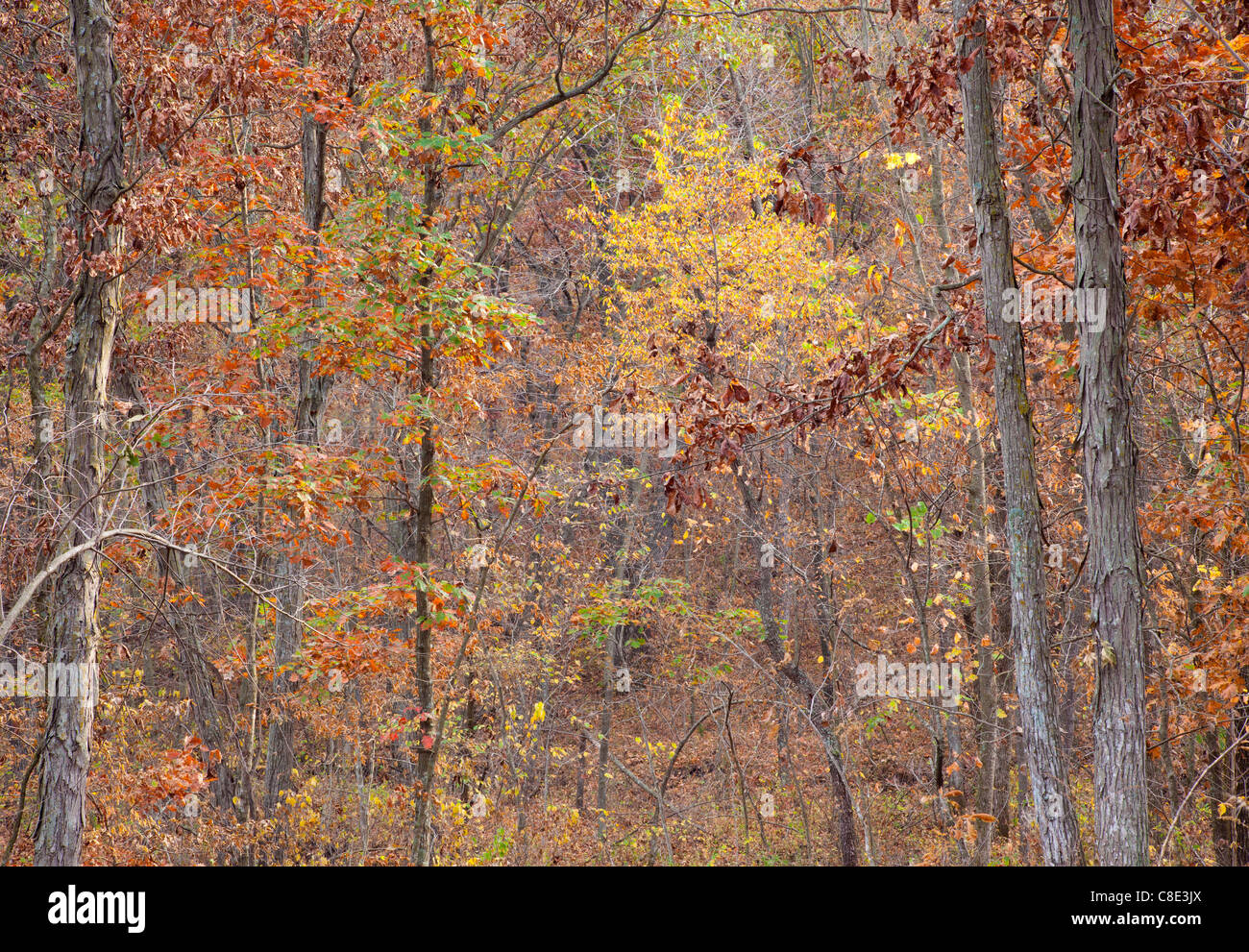 oak-hickory forest in autumn, Stephens State Forest, Woodburn Unit, Clarke County, Iowa - Stock Image