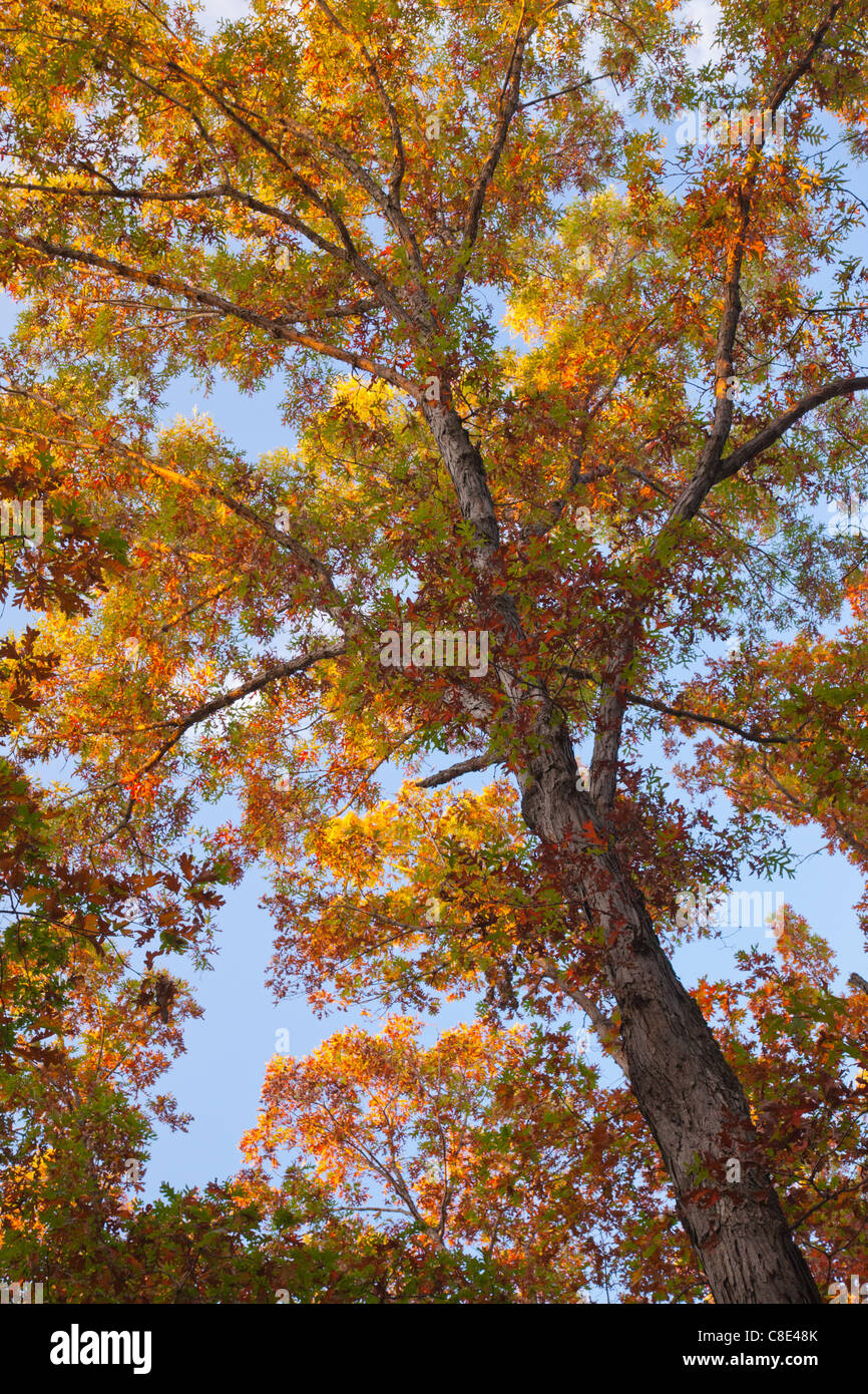 oak trees in autumn, Nine Eagles State Park, Decatur County, Iowa - Stock Image