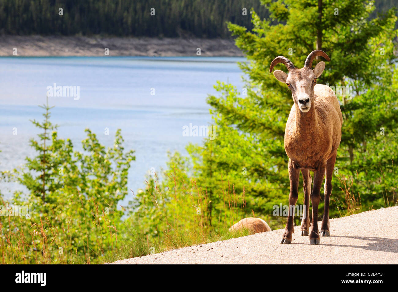 Big horn sheep on the road near Medicin lake in Jasper, Canada - Stock Image
