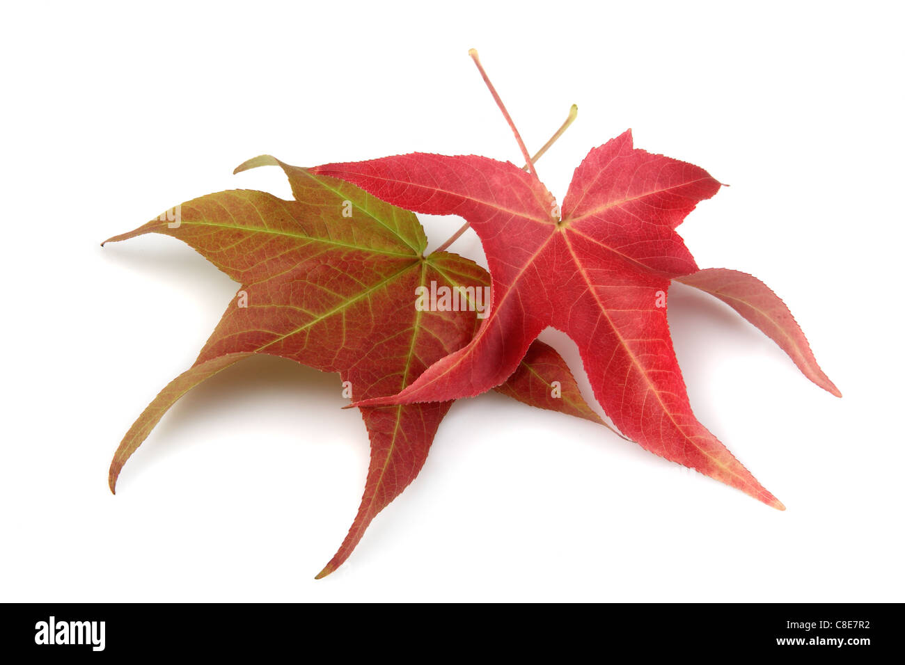 Fall maple leaves on white background - Stock Image