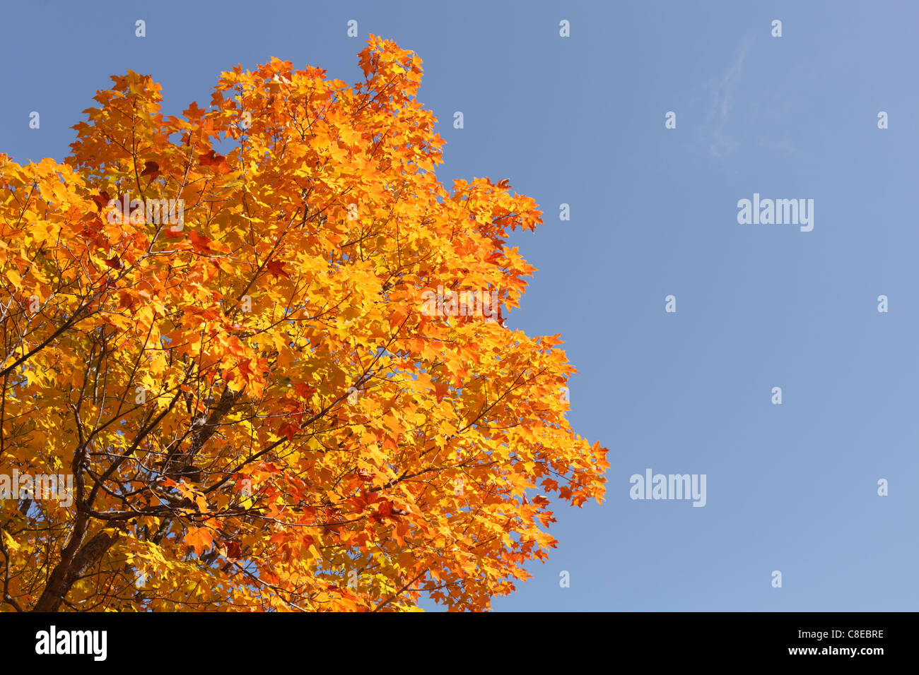 Autumn view of colorful maple tree leaves. - Stock Image