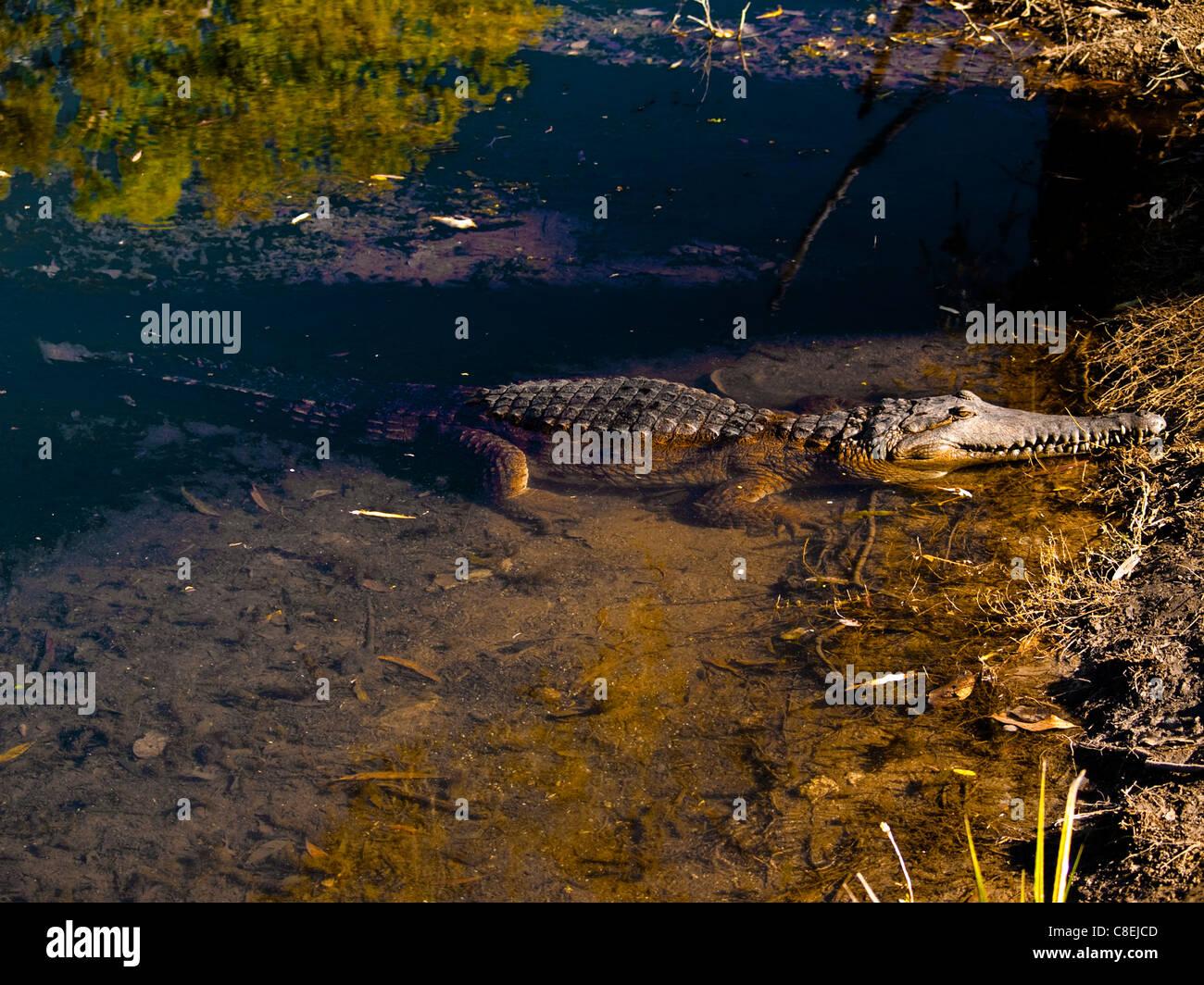 Australian Estuarine or Saltwater crocodile (Crocodylus porosus) Northern Territory, Australia - Stock Image