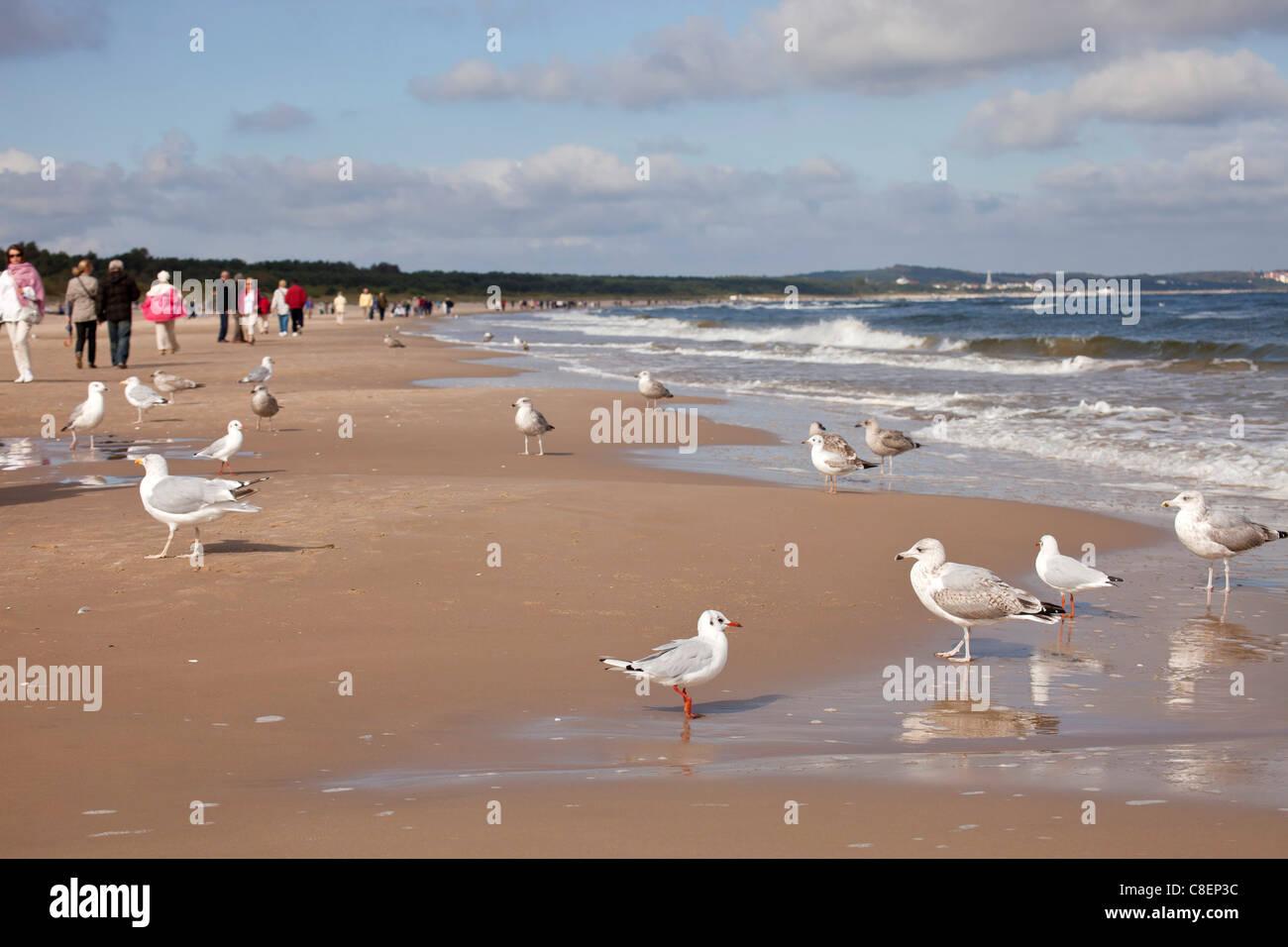 seagulls at the beach of the polish seaside resort Swinoujscie, Uznam Island, Poland, Europe Stock Photo