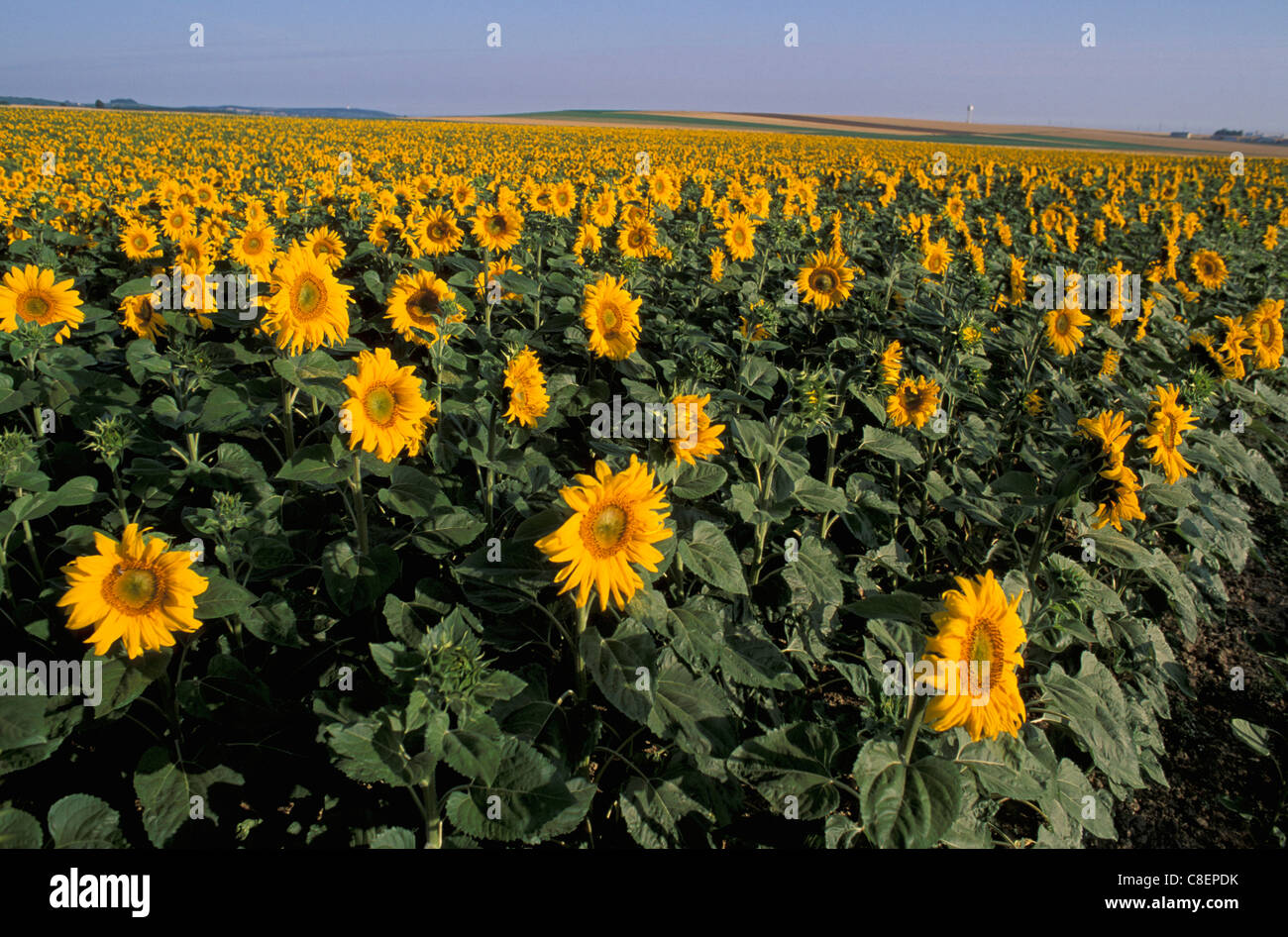 Sunflower, fields, near Reims, Champagne, France, Europe, yellow - Stock Image
