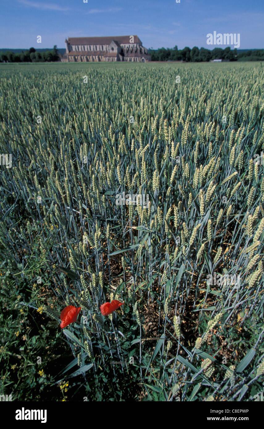 Abbaye de Pontigny, Wheat, Field, Flower, Burgundy, France, Europe, - Stock Image