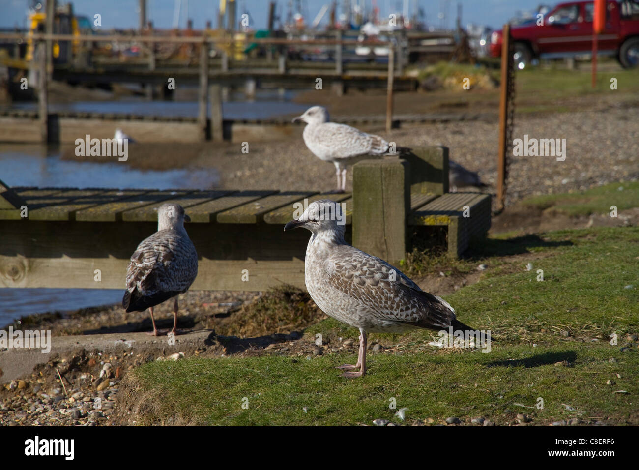 Herring gulls (Larus argentatus) at Southwold Harbour in Suffolk - Stock Image