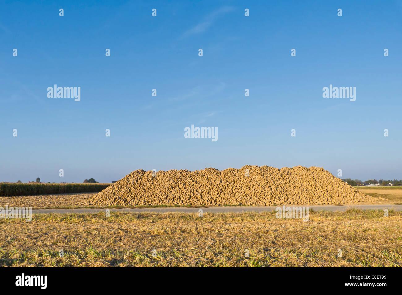 Sugar Beet Harvest Landscape - Stock Image