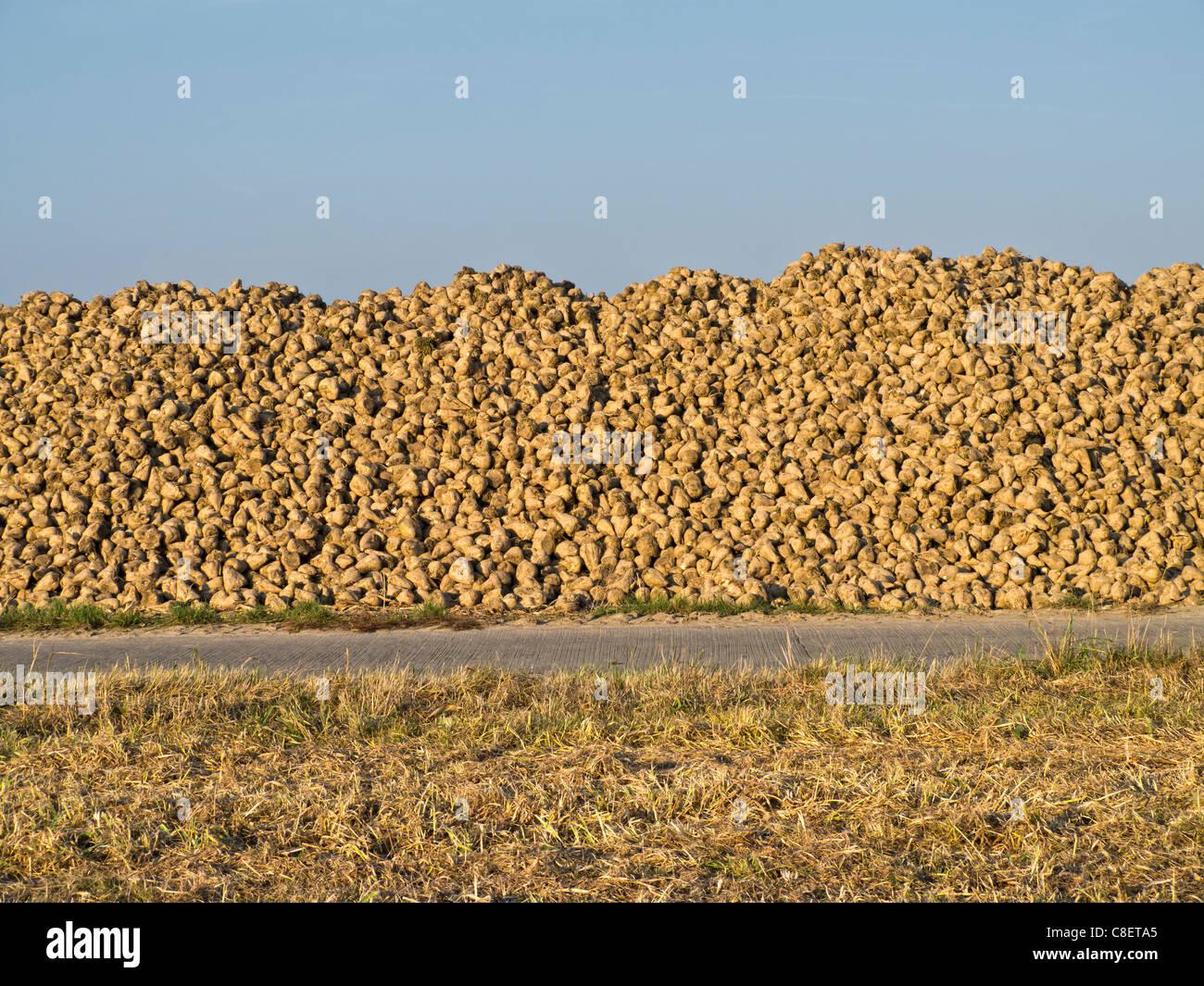 Sugar Beet Harvest - Stock Image