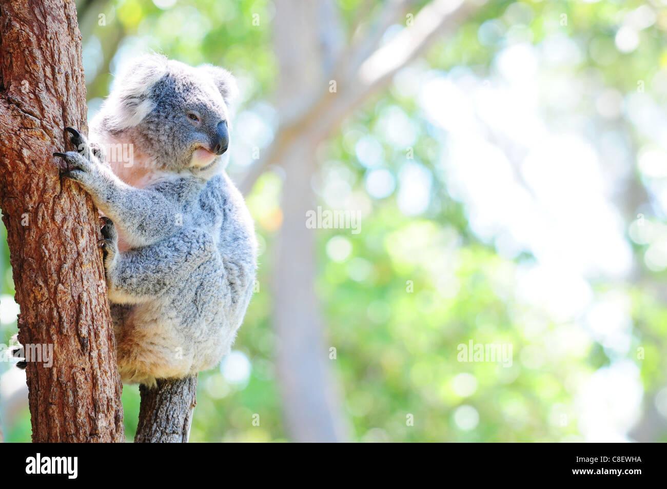 Cute Australian koala in its natural habitat - Stock Image