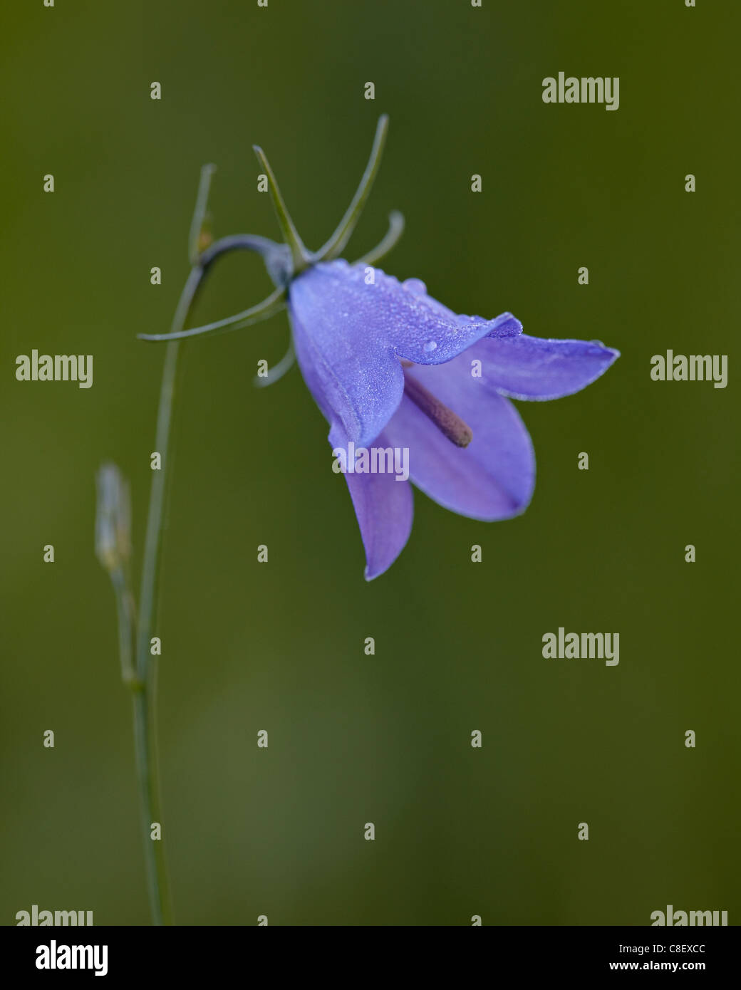 Mountain harebell (Campanula lasiocarpa, Gunnison National Forest, Colorado, United States of America - Stock Image