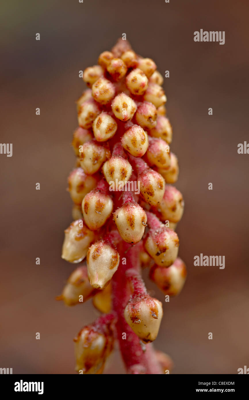 Pinedrops (Pterospora andromedea, Red Feather Lakes District, Roosevelt National Forest, Colorado, United States of America Stock Photo