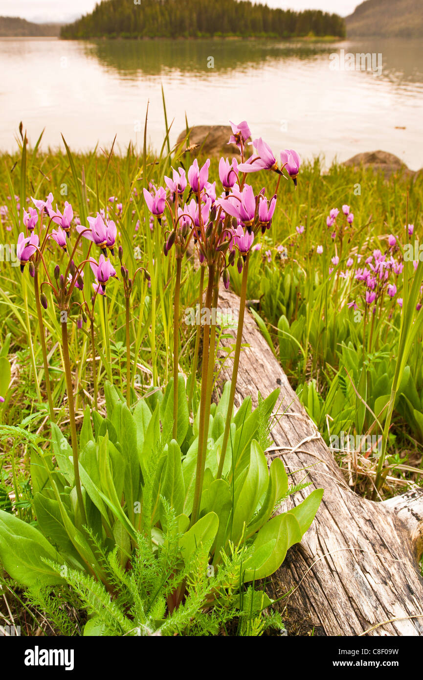 Dark-throated shooting star (Dodecatheon pulchellum) in Thomas Bay region of Southeast Alaska, United States of - Stock Image