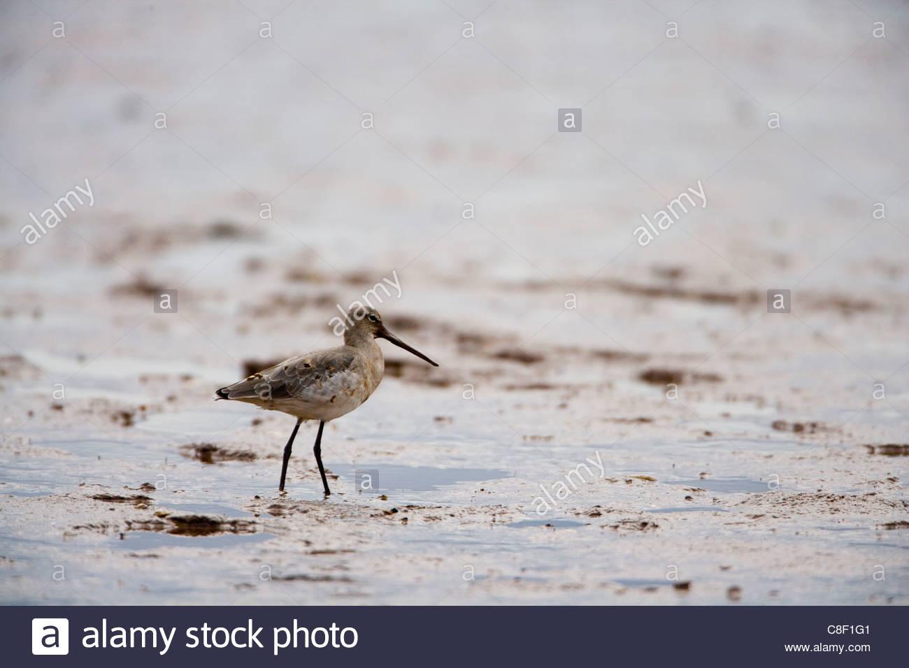 Black Tailed Godwit - Stock Image