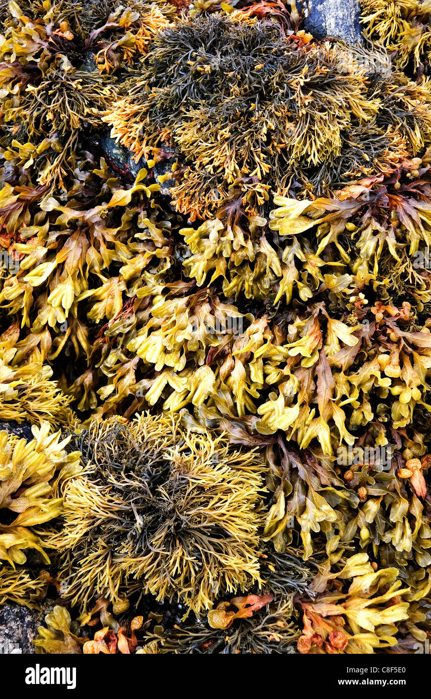 Seaweed on Rosamol beach on the Isle of Harris - Stock Image