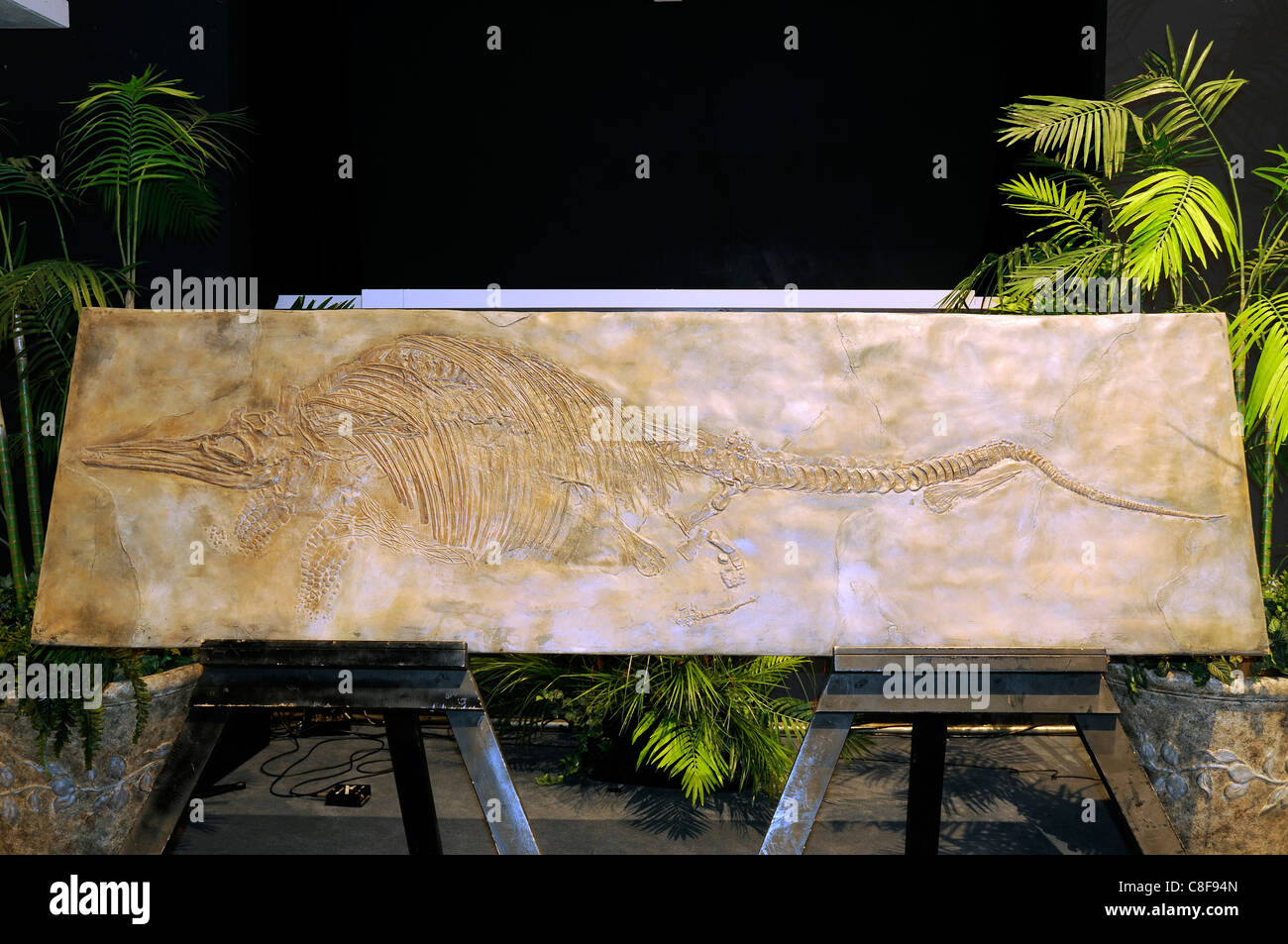 Fossil of an Ichthyosaurus, an extinct genus of ichthyosaur from the Early Jurassic period - Stock Image