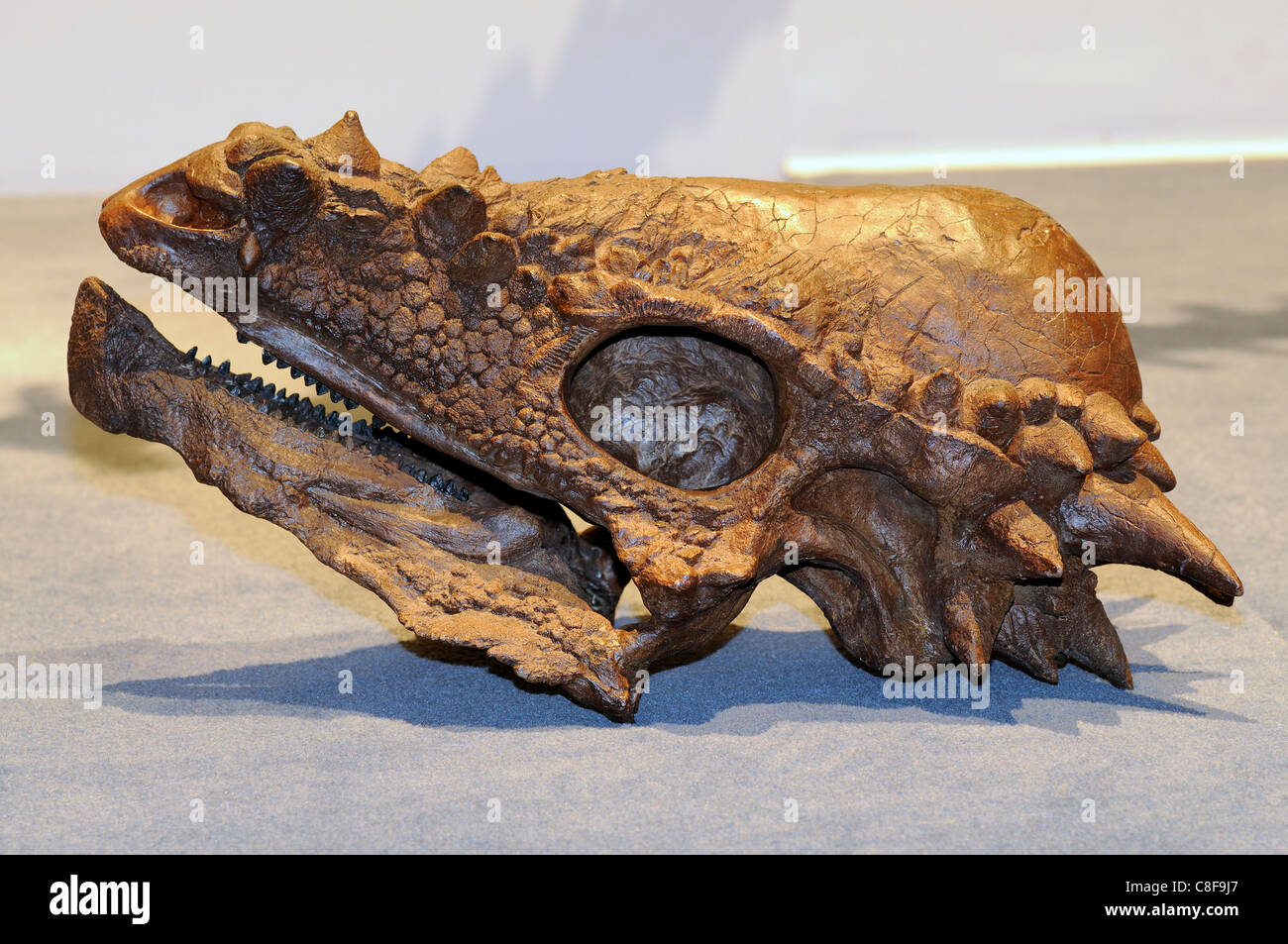Fossilized skull of a Pachycephalosaurus wyomingensis 'thick headed lizard' dinosaur from the Cretaceous - Stock Image