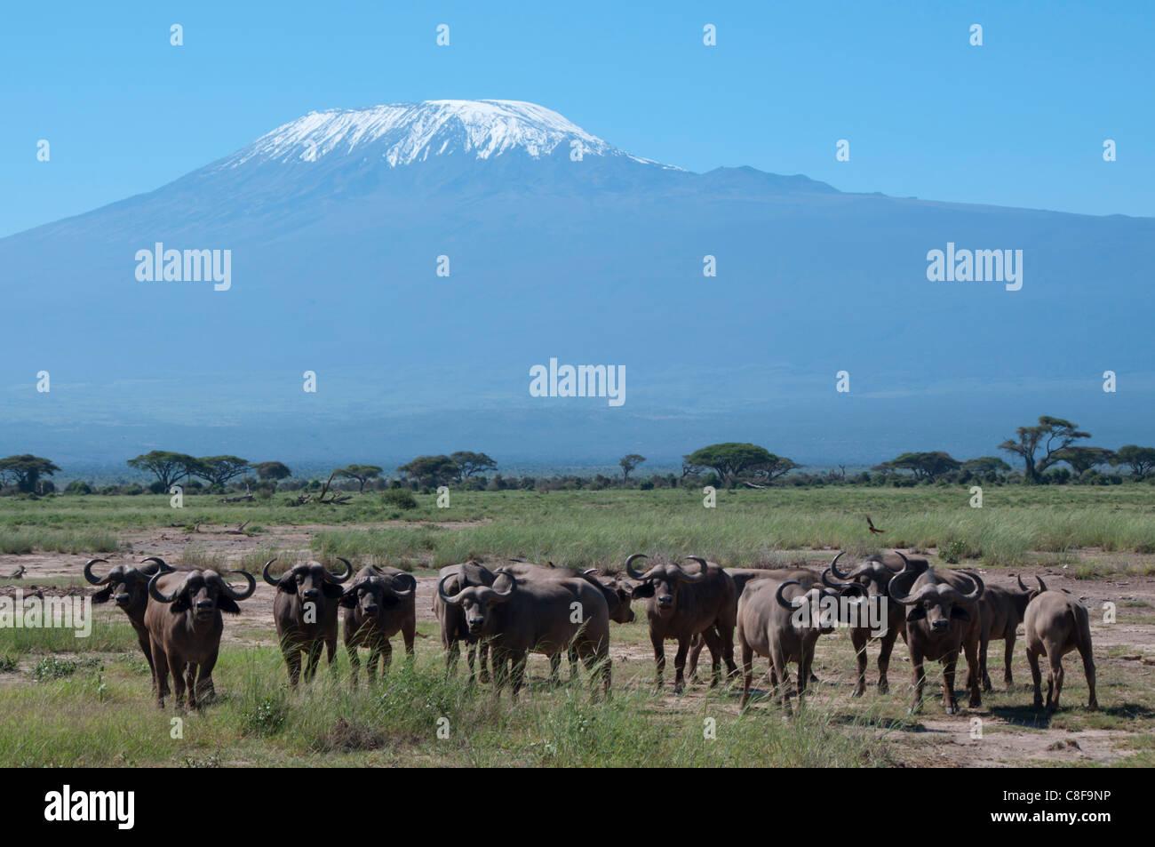 Cape buffalo, Amboseli National Park, with Mount Kilimanjaro in the background, Kenya, East Africa - Stock Image