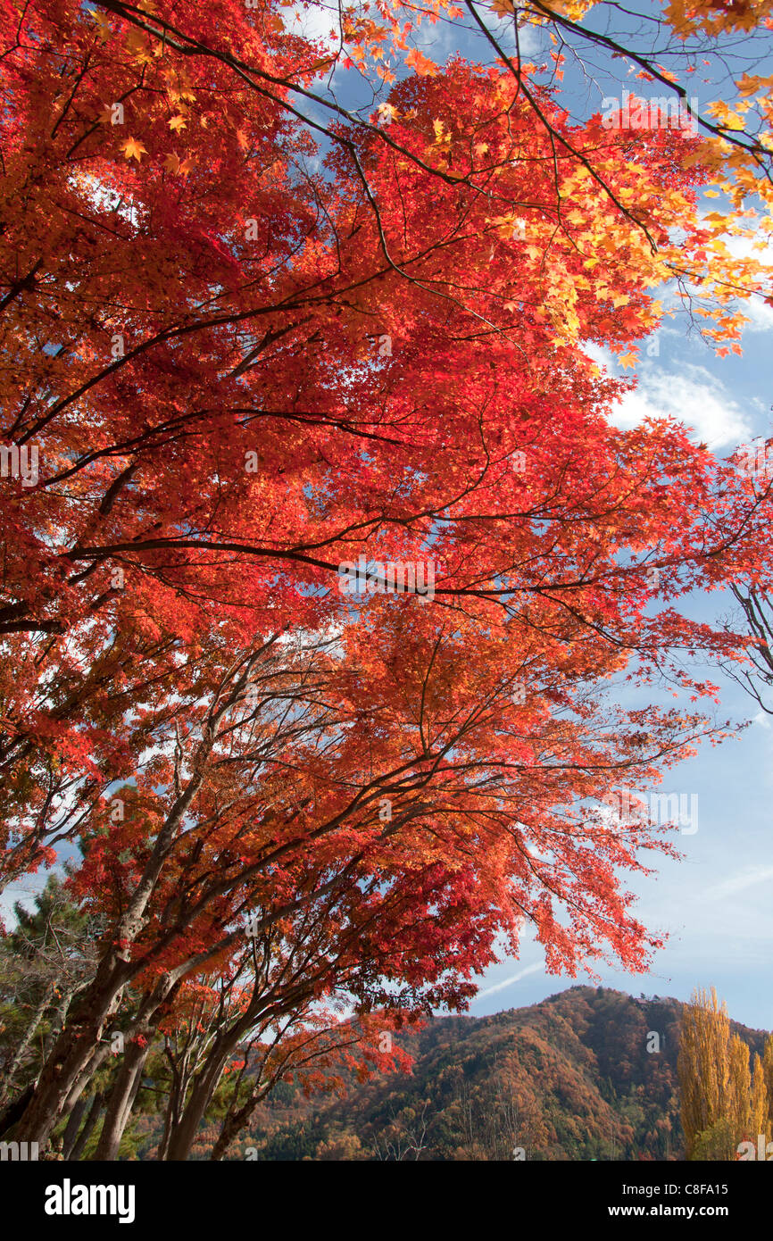 Japan, November, Asia, Momiji, Japanese, maple, maple, red, autumnally, trees, nature, autumn - Stock Image