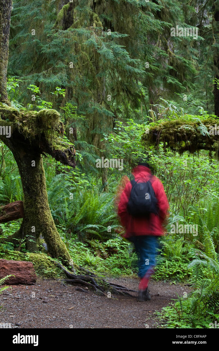 Walker in Quinault Rain Forest, Olympic National Park, Washington State, United States of America - Stock Image