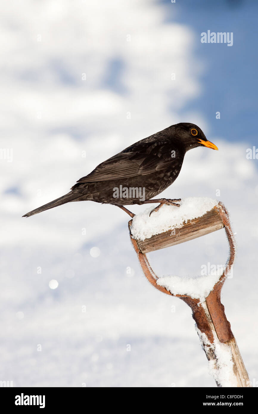 Blackbird (Turdus merula, on garden spade, in snow, Northumberland, England, United Kingdom - Stock Image