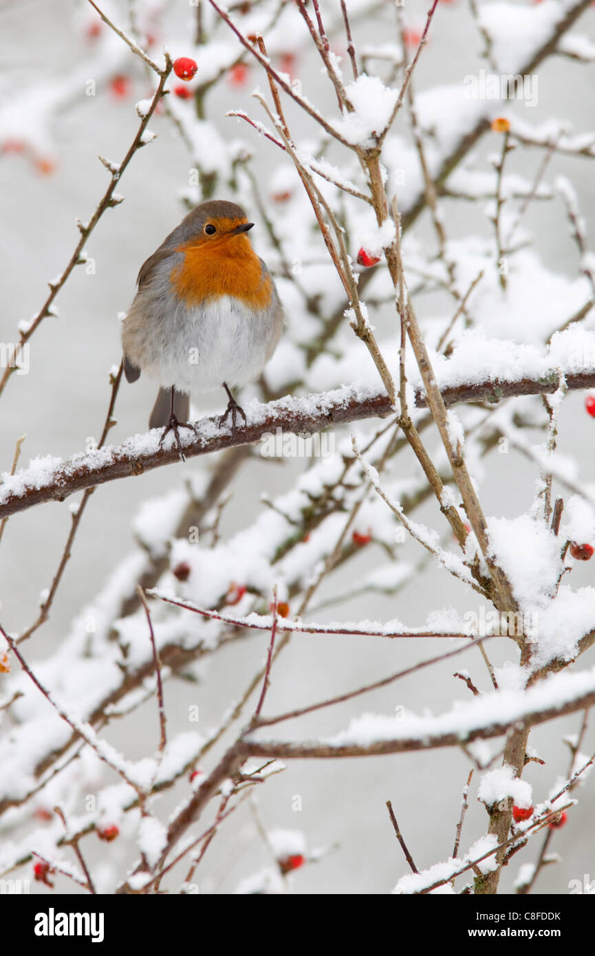 Robin (Erithacus rubecula, with berries in snow, United Kingdom - Stock Image