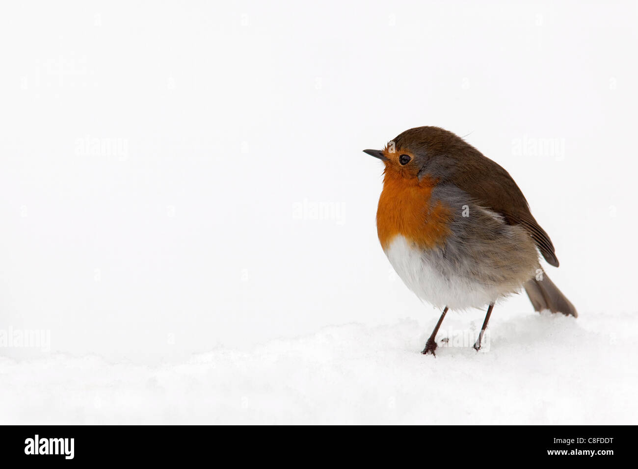Robin (Erithacus rubecula, in snow, United Kingdom - Stock Image