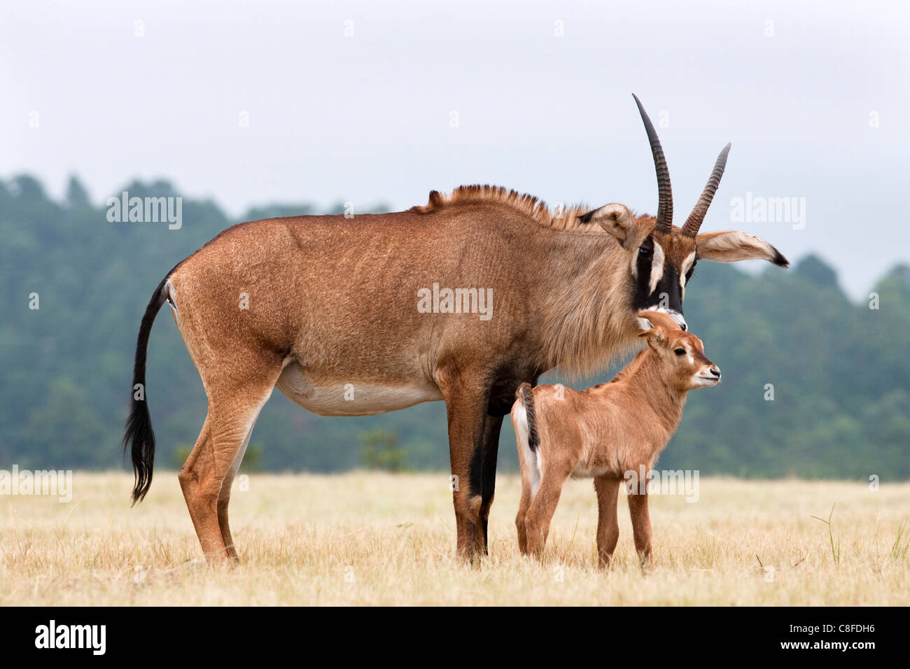 Roan (Hippotragus equinus) with baby, Mlilwane Nature Reserve breeding programme, Swaziland Stock Photo
