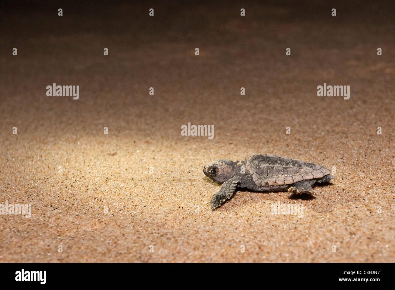 Loggerhead turtle (Caretta caretta) hatchling, moving from nest to sea at night, Banga Nek, Kwazulu Natal, South - Stock Image